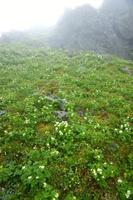 山梨県 高山植物のお花畑