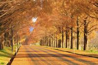 滋賀県 黄葉のメタセコイヤ並木