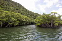 沖縄県 マングローブが生い茂る浦内川をクルーズ