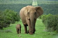 南アフリカ アフリカゾウ