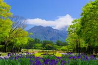 あやめ咲く吉野公園と桜島