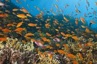 エジプト 紅海 魚の群れ