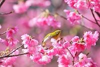 沖縄県 国頭村 寒緋桜とメジロ
