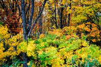 青森県 白神山地 ブナ林の紅葉