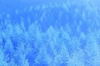 山梨県 荒川林道 朝陽射すカラマツ林