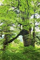 鹿児島県 屋久島 大株歩道沿いに立つ世界自然遺産の夫婦杉