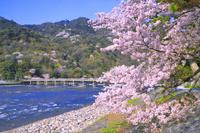 京都府 嵐山 桜と桂川と渡月橋
