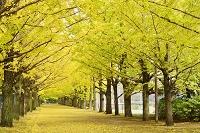東京都 昭和記念公園 銀杏の並木道