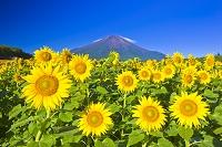 山梨県 富士山とヒマワリ