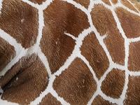 北海道 釧路動物園 キリン 模様