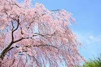 長野県 弘法山古墳 枝垂れ桜