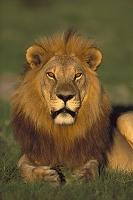 ボツワナ チョベ国立公園 雄のアフリカライオン