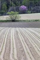 ビートの移植後の畑と山桜 上富良野町