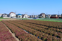 練馬区 レタス ロロロッサの畑