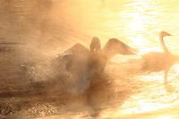北海道 朝の帯広川 オオハクチョウのケンカ