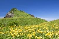 新潟県 トビシマカンゾウ咲く大野亀