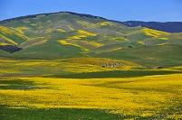 アメリカ合衆国 カリフォルニア 花園 アンテロープバレー キク