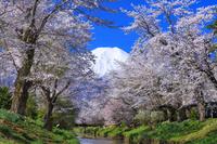 山梨県 新名庄川の桜と富士山