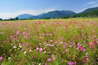 三重県 コスモス畑と鈴鹿山脈