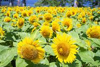 滋賀県 野洲市 ひまわり畑