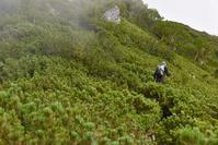 南アルプス 塩見岳 豊口ルート ハイマツ帯を登る登山者