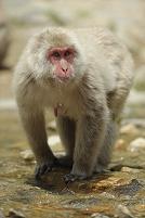 長野県 地獄谷野猿公苑 ニホンザル