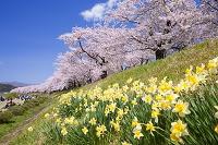 秋田県 桧木内川堤のスイセンと桜並木