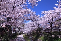 京都府 哲学の道 桜