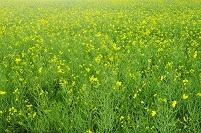 カラシナの畑