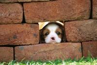 煉瓦の隙間から顔を出す子犬