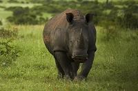 南アフリカ共和国 クルーガー国立公園 シロサイ