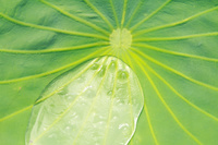 蓮の葉と水滴