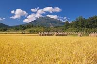 青森県 杭掛けの稲と岩木山
