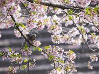 愛知県 五条川の桜