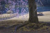 東京都 小石川後楽園 雨の桜