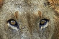 南アフリカ共和国 クルーガー国立公園 ライオン