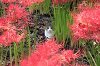 埼玉県 深山の花園 ヒガンバナとネコ