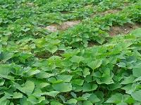 京都府 木津川市 鳴門金時(サンツマイモ)の畑
