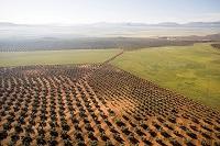 スペイン アンテケラ オリーブ畑