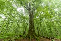 青森県 ブナ巨木 森の神