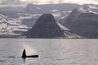 アイスランド スナイフェルス半島 シャチ