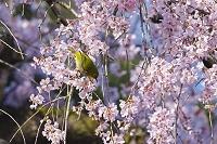 長崎県 メジロと桜
