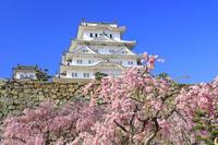兵庫県 姫路城天守閣とベニシダレザクラ
