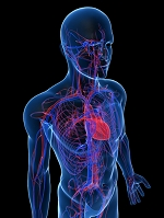 心臓と血液循環のイメージ