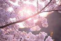 山形県 小国町 小玉川地区 桜と木漏れ日