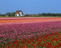 オランダ チューリップ畑 白い家