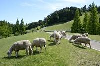 兵庫県 六甲山牧場 ヒツジの放牧