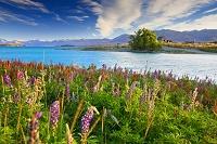 ニュージーランド ルピナス咲くテカポ湖