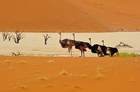 ナミビア デッドフレイ ナミブ砂漠 ダチョウ
