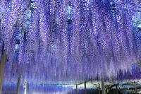 愛知県 ライトアップされた曼陀羅寺公園の九尺藤
